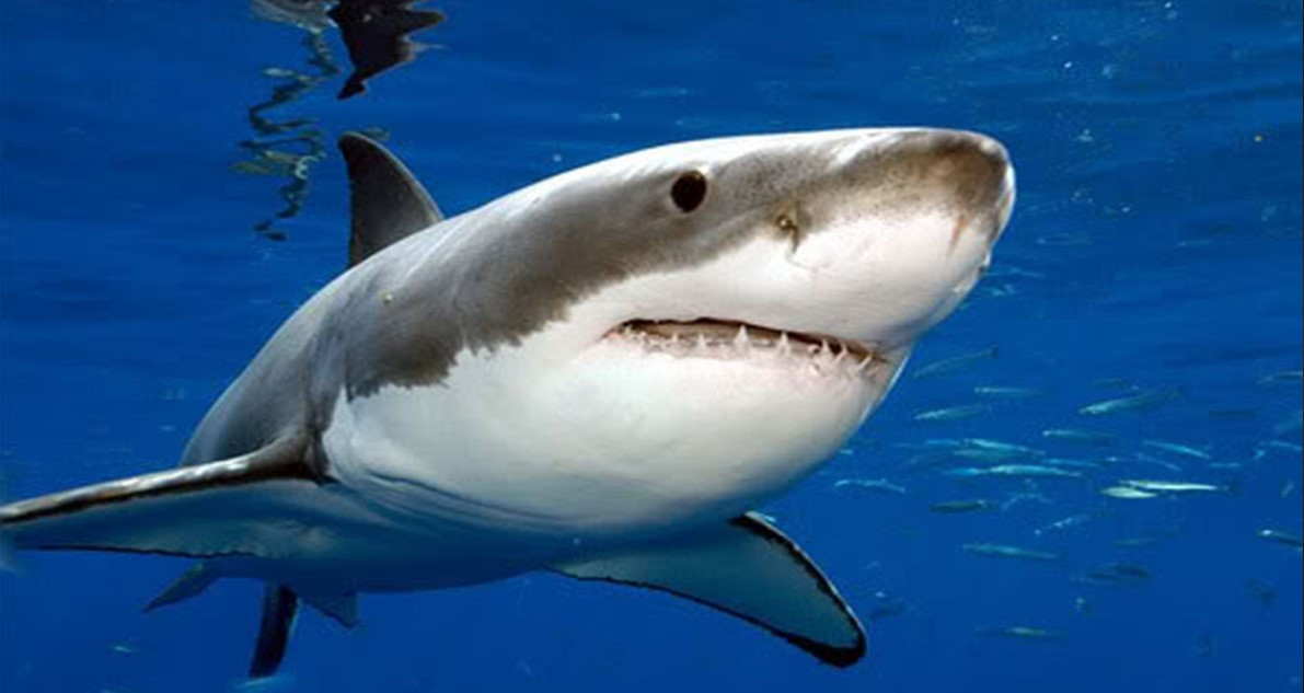 Meet the Apex Predator of the Ocean: Great White Sharks